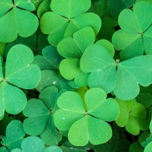 The Irish Shamrock Meaning And History